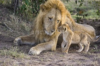 African Lion (Panthera leo) seven to eight week old cub approaches adult male, vulnerable, Masai Mar