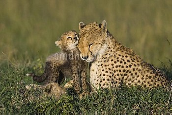Cheetah (Acinonyx jubatus) mother interacting with eight to nine week old cubs, Maasai Mara Reserve,