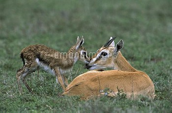 Thomson's Gazelle (Eudorcas thomsonii) newborn fawn struggling to stand, Ngorongoro Conservation Are