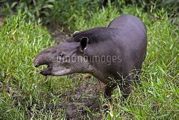 Brazilian Tapir (Tapirus terrestris) calling in rainforest, Amazon ecosystem, vulnerable, Peru