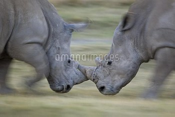 White Rhinoceros (Ceratotherium simum) males fighting, Lake Nakuru, Kenya