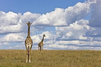 Masai Giraffe (Giraffa camelopardalis tippelskirchi) adults, Masai Mara National Reserve, Kenya