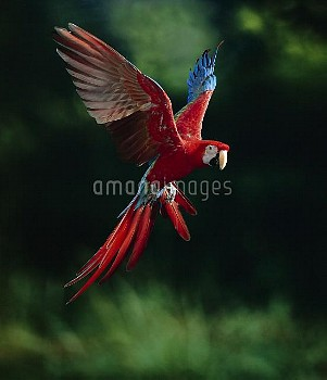 Red and Green Macaw (Ara chloroptera) flying, native to South America