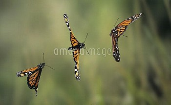 Monarch (Danaus plexippus) butterfly flying, multiflash image