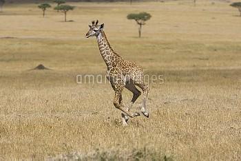 Giraffe (Giraffa camelopardalis) less than 3 week old calf running, Masai Mara, Kenya