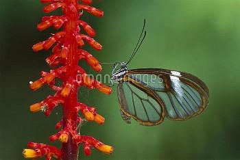 Glasswing Butterfly (Ithomania sp), Tingomaria, Peru