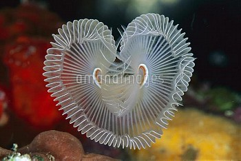 Feather Duster Worm (Sabellastarte sp) in the shape of a heart, 40 feet deep, Solomon Islands
