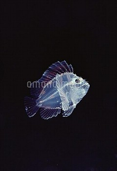 Leaf Scorpionfish (Taenianotus triacanthus) larval stage, one inch long, Hawaii