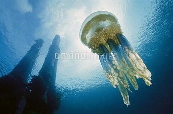 Papuan Jellyfish (Mastigias papua) 20 feet deep, Solomon Islands