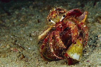 Hermit Crab (Dardanus sp) riding on large Hermit Crab (Dardanus sp) which is grabbing a Cone Shell,
