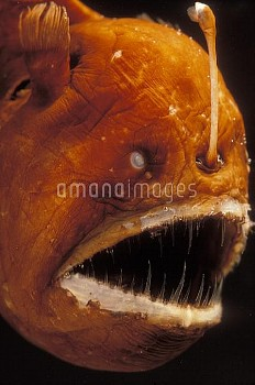Humpback Anglerfish (Melanocetus johnsoni) deep sea species showing fishing pole with bioluminescent