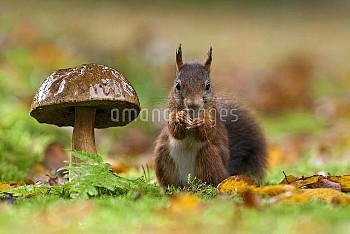 Eurasian Red Squirrel (Sciurus vulgaris) next to King Bolete (Boletus edulis) mushroom, Veluwe, Nuns