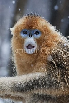Golden Snub-nosed Monkey (Rhinopithecus roxellana) juvenile male with surprised expression on face,