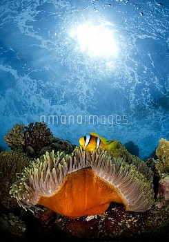 Magnificent Sea Anemone (Heteractis magnifica) with Two-banded Anemonefish (Amphiprion bicinctus), R