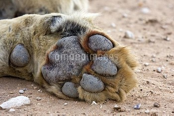 African Lion (Panthera leo) front paw of a male, Auob River, Kgalagadi Transfrontier Park, Botswana