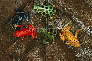 Strawberry Poison Dart Frog (Oophaga pumilio) group showing color variation from different islands,
