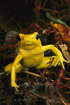 Golden Poison Dart Frog (Phyllobates terribilis) the most poisonous of the dart frogs, western Colom