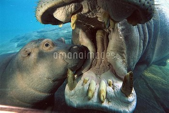 East African River Hippopotamus (Hippopotamus amphibius kiboko) mother and baby underwater, native t