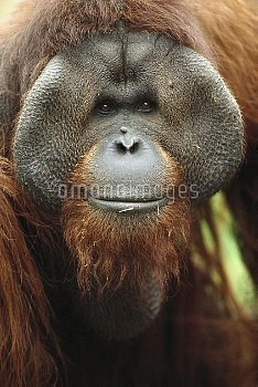Orangutan (Pongo pygmaeus) adult male showing pronounced cheek pads, native to Borneo