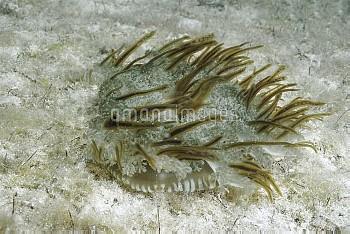Upside-down Jellyfish (Cassiopea xamachana) lies on bottom, symbiotic algae (Zooxanthellae) in body,