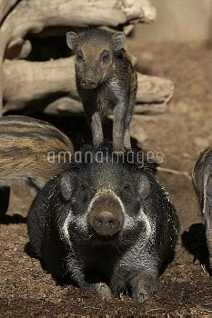 Visayan Warty Pig (Sus cebifrons) mother with calf standing on back, critically endangered, native t