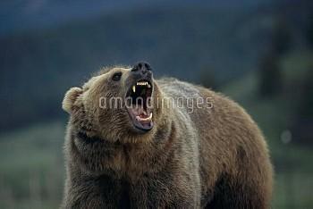 吼えるアメリカヒグマ(グリズリー) 〔arctos,BEAR,horribilis,Ursus,Brown,Grizzly〕