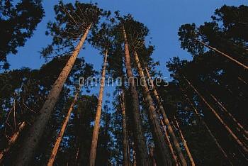 そびえたつ樹齢70年のスギ [japonica,Cedar,Cryptomeria,Japanese]