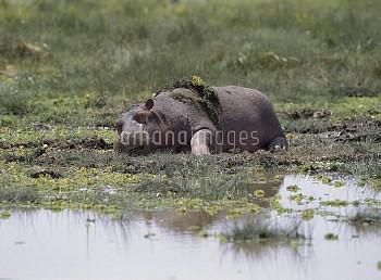 カバ [hippopotamus,amphibius]