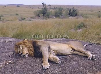 ライオンのオス 眠る [leo,Panthera,Lion]