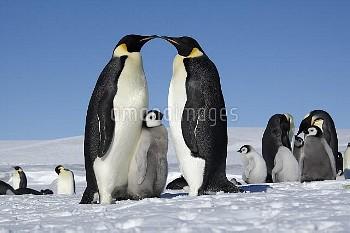コウテイペンギン(エンペラーペンギン)の親子 [Emperor,forsteri,Penguin,Aptenodytes]