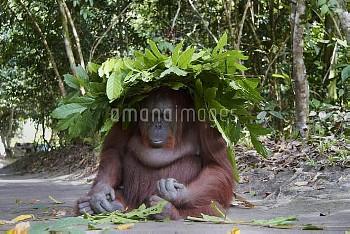 木の枝葉を頭に乗せたオランウータン [Pongo,sp.,Orangutan]