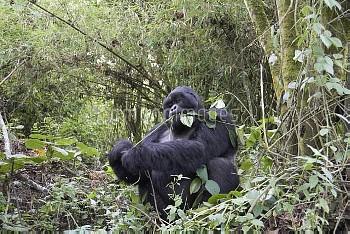 マウンテンゴリラ シルバーバック [MOUNTAIN,beringei,Gorilla]