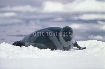 クラカケアザラシのオス 成獣 [Phoca,Seal,fasciata,Ribbon]