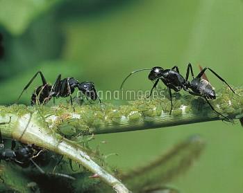 アブラムシから蜜をもらうクロオオアリ [japonicus,Camponotus,BLACK,Ant,Carpenter]