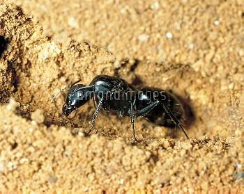 初期の巣の中のクロオオアリの新女王アリ [japonicus,Camponotus,BLACK,Ant,Carpenter]