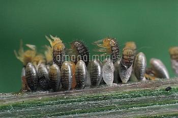 ナナホシテントウ 孵化 [Coccinella,septempunctata,Lady,Seven-spotted,Beetle,Ladybug]
