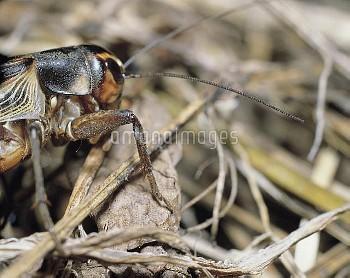 エンマコオロギの耳 [cricket,field,Teleogryllus,emma]