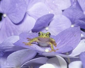 ニホンアマガエルとアジサイ [japonica,Frog,Tree,Japanese,Hyla]