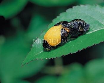 ナナホシテントウ 羽化 連続 5/16 [Coccinella,septempunctata,Lady,Seven-spotted,Beetle,Ladybug]