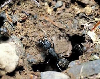 クロオオアリの巣作り:土を運び出す [japonicus,Camponotus,BLACK,Ant,Carpenter]