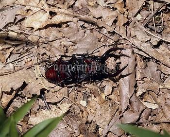 ノコギリクワガタの擬死 [inclinatus,Prosopocoilus,Beetle,Stag,Saw]