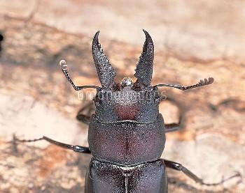 ノコギリクワガタの大アゴ (大アゴ小型) [inclinatus,Prosopocoilus,Beetle,Stag,Saw,Prosopocoilus_inclinatus_inclinatus]