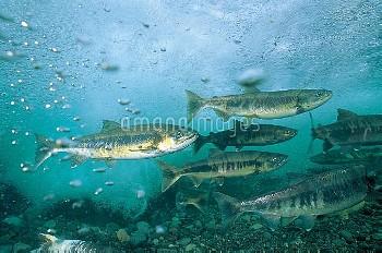 産卵のために川を遡上するサケの群れ [DOG,Oncorhynchus,keta,Chum,Salmon]