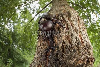 樹液にくるカブトムシ [horned,rhinoceros,dichotomus,Trypoxylus,Japanese,Beetle]