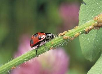 アブラムシを捕食するナナホシテントウ [Coccinella,septempunctata,Lady,Seven-spotted,Beetle,Ladybug]