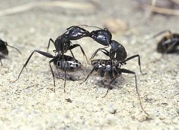 クロオオアリのケンカ [japonicus,Camponotus,BLACK,Ant,Carpenter]