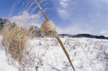 オオカマキリの卵 雪の中の [Tenodera,Mantid,aridifolia,Chinese]