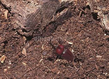 羽化して地中から這い出るカブトムシのオス [horned,rhinoceros,dichotomus,Trypoxylus,Japanese,Beetle]