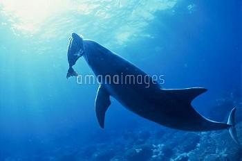 ニザダイを捕食するハンドウイルカ [Bottlenose,truncatus,Tursiops,Dolphin,Long-beaked]