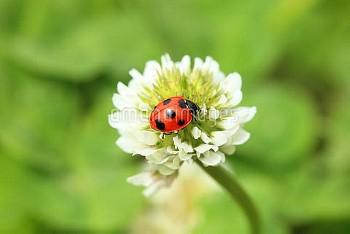 ナナホシテントウ [Coccinella,septempunctata,Lady,Beetle,Ladybug,Seven_spotted]